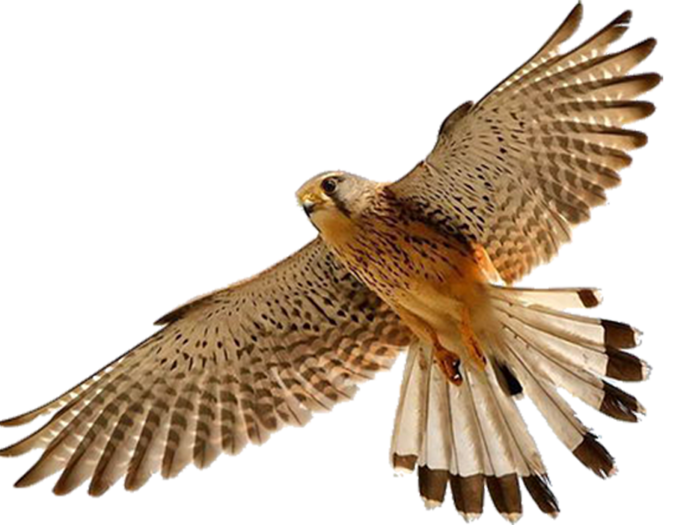 falcon_PNG7